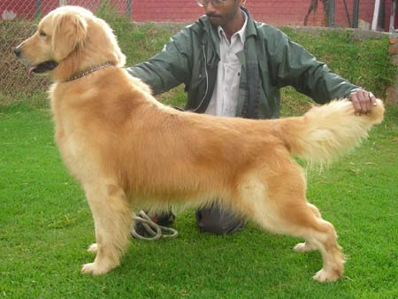 Stud Dog Golden Retriever Golden Angels